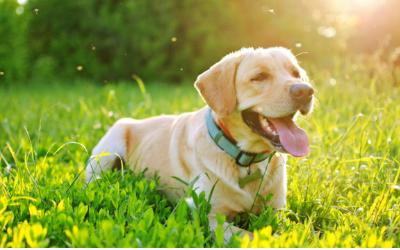 image for Heat Stroke in Dogs